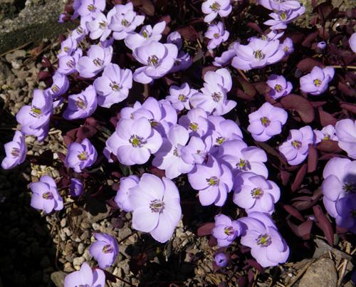 小さな段々花壇のタツタソウ2014 (18日、追記有り)_a0136293_17523229.jpg