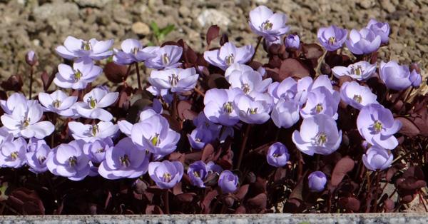 小さな段々花壇のタツタソウ2014 (18日、追記有り)_a0136293_1757564.jpg