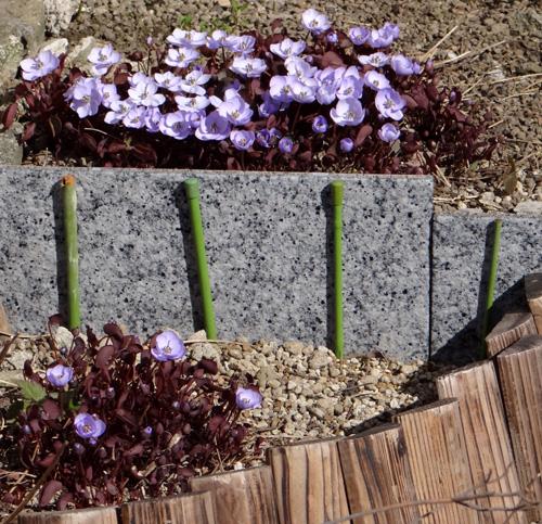 小さな段々花壇のタツタソウ2014 (18日、追記有り)_a0136293_1815622.jpg