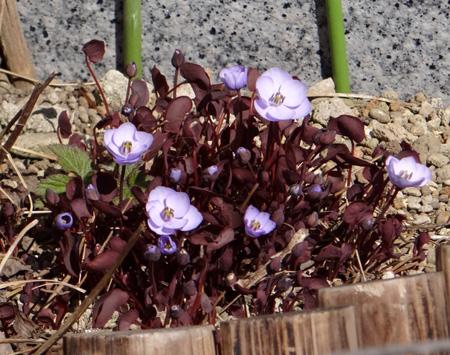 小さな段々花壇のタツタソウ2014 (18日、追記有り)_a0136293_18372447.jpg