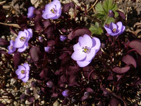 小さな段々花壇のタツタソウ2014 (18日、追記有り)_a0136293_18492041.jpg