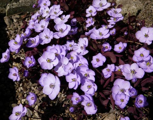 小さな段々花壇のタツタソウ2014 (18日、追記有り)_a0136293_18503414.jpg