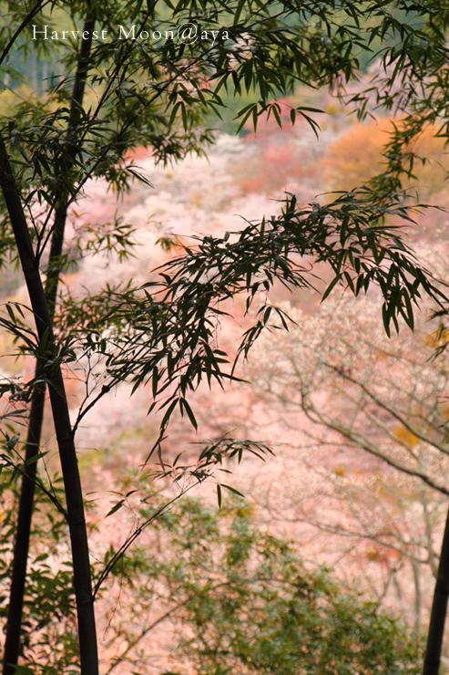 桜の詩~竹の合間_b0208495_22351879.jpg