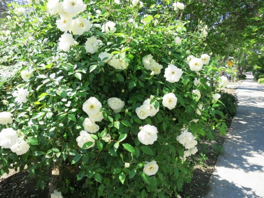 サンノゼの白バラとみつばち_b0083801_14012839.jpg