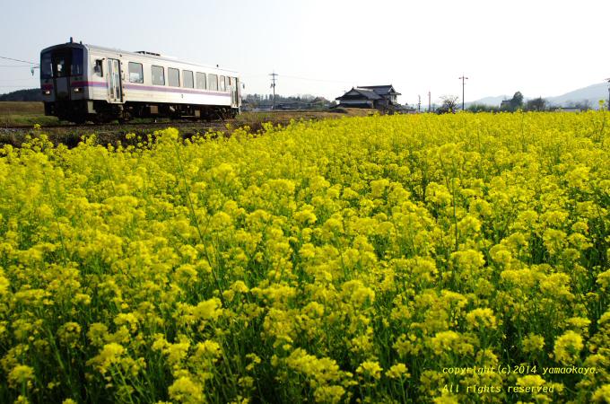 菜の花が広がる_d0309612_2236274.jpg