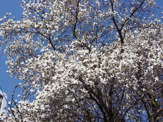 桜咲く_d0127634_13252281.jpg
