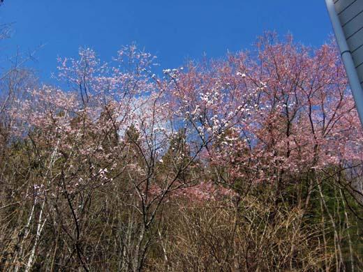 桜咲く_d0127634_13262473.jpg