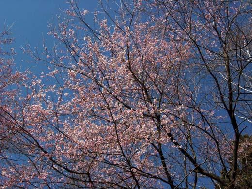 桜咲く_d0127634_13285162.jpg
