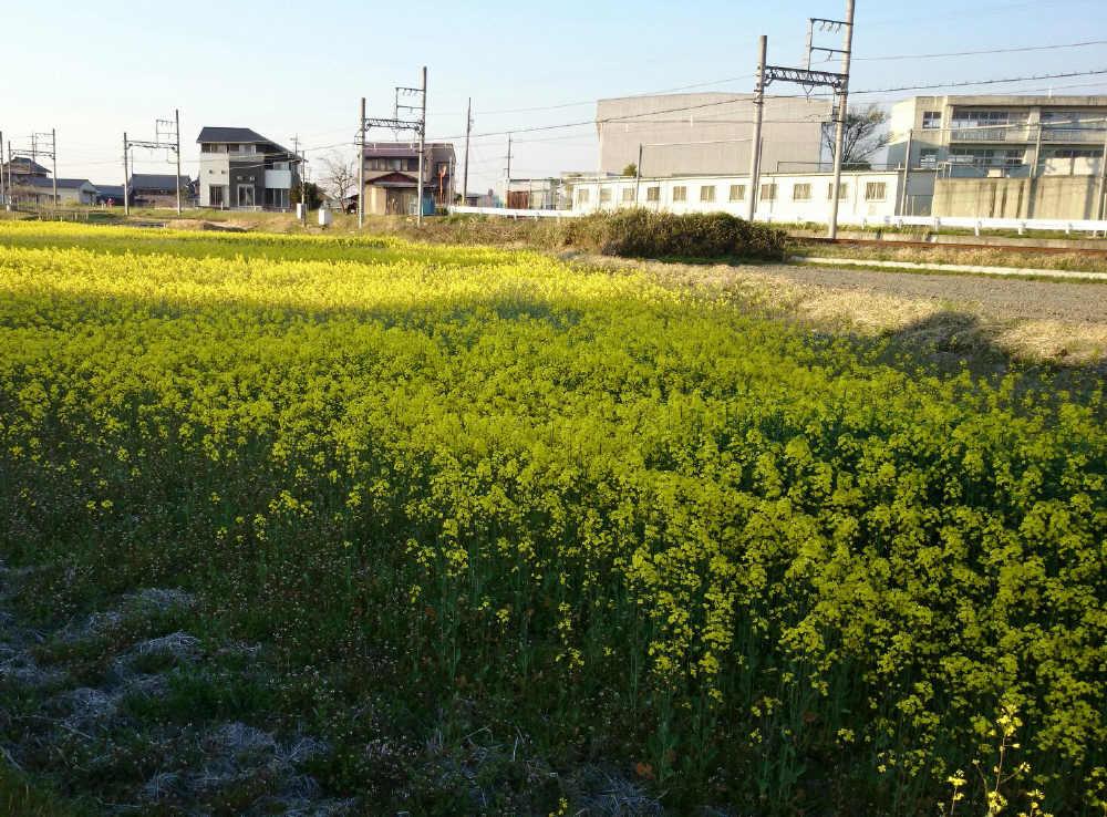 菜の花畑_d0226336_0414494.jpg