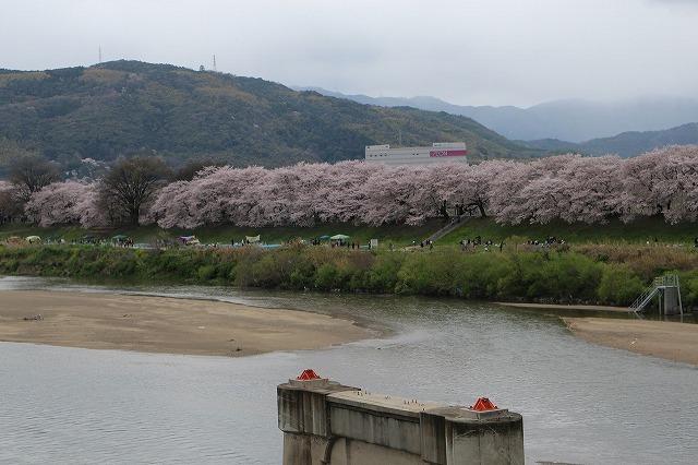 やっぱり桜は背割りでしょうウオーク_b0044663_16471774.jpg