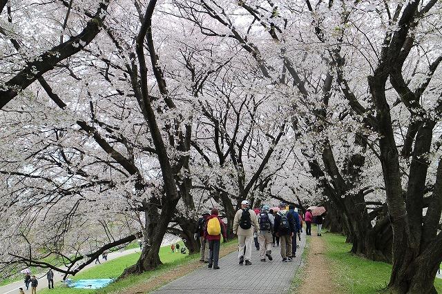 やっぱり桜は背割りでしょうウオーク_b0044663_16475072.jpg