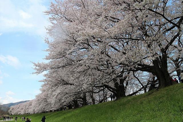 やっぱり桜は背割りでしょうウオーク_b0044663_1649329.jpg