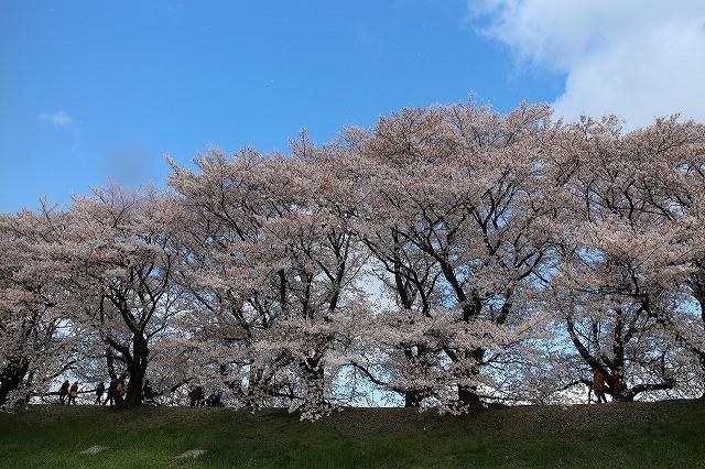 やっぱり桜は背割りでしょうウオーク_b0044663_16502613.jpg