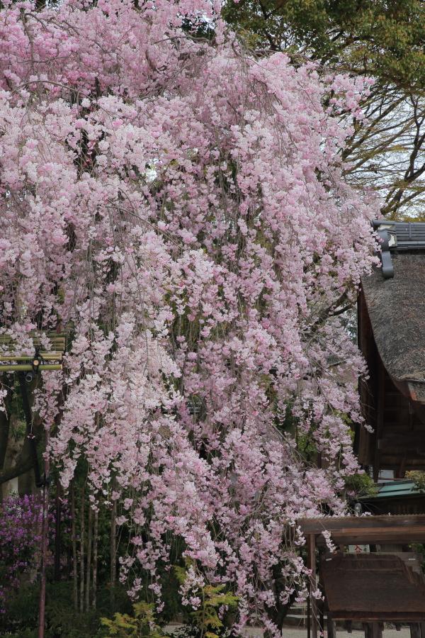 桜 2014 京都<上賀茂神社>                     _f0021869_23132978.jpg