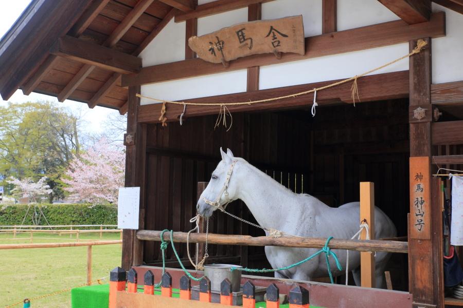 桜 2014 京都<上賀茂神社>                     _f0021869_23135662.jpg