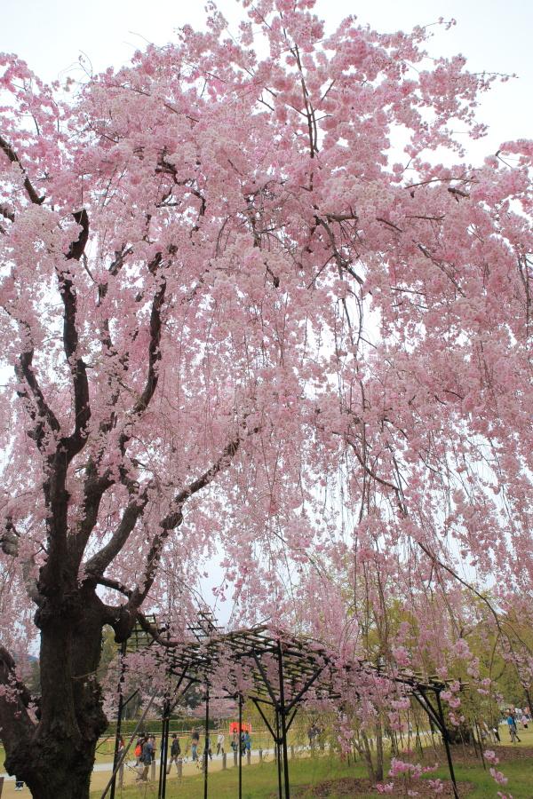 桜 2014 京都<上賀茂神社>                     _f0021869_231428100.jpg