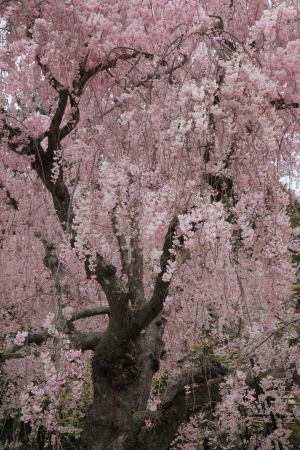 桜 2014 京都<上賀茂神社>                     _f0021869_2314967.jpg