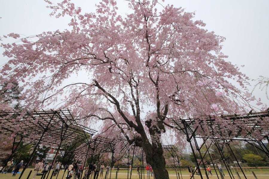 桜 2014 京都<上賀茂神社>                     _f0021869_2315383.jpg