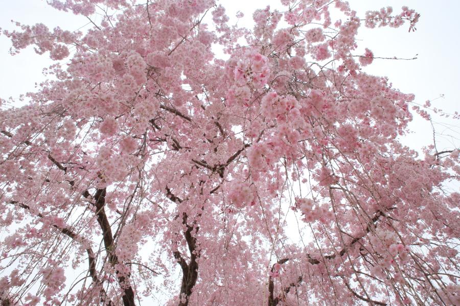 桜 2014 京都<上賀茂神社>                     _f0021869_23153915.jpg