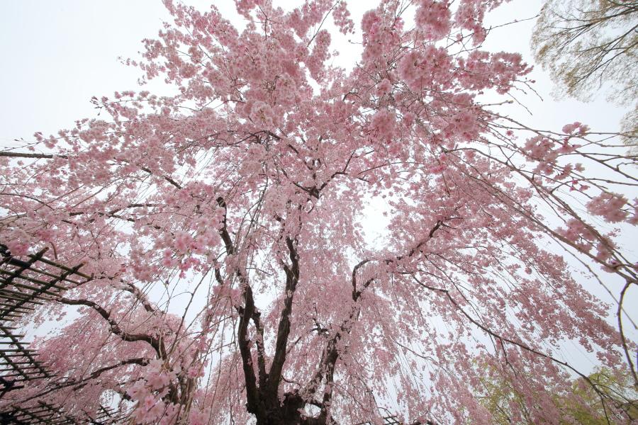 桜 2014 京都<上賀茂神社>                     _f0021869_23161672.jpg