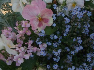 オークリーフ(アネモネフルゲンスが咲きました)_f0049672_13154658.jpg