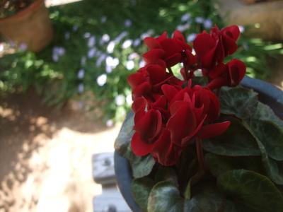 オークリーフ(アネモネフルゲンスが咲きました)_f0049672_13162034.jpg