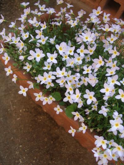 オークリーフ(アネモネフルゲンスが咲きました)_f0049672_1316375.jpg
