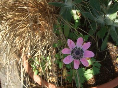 オークリーフ(アネモネフルゲンスが咲きました)_f0049672_13461313.jpg