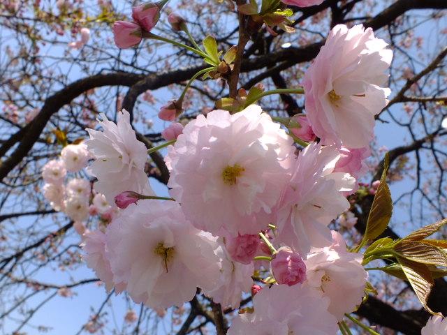4月11日 日本花の会・結城農場の桜 その1_e0145782_18374793.jpg