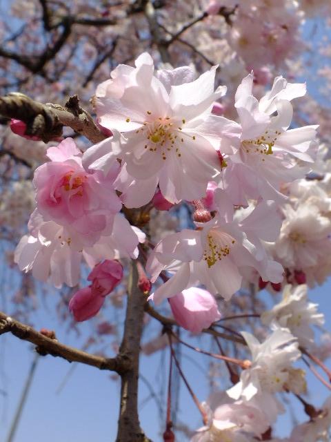 4月11日 日本花の会・結城農場の桜 その1_e0145782_18382823.jpg