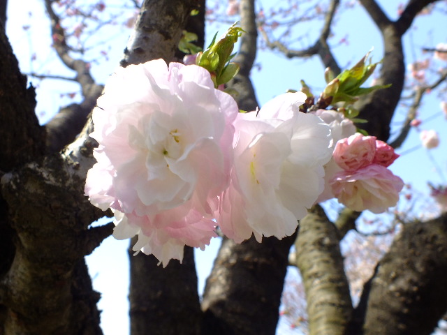 4月11日 日本花の会・結城農場の桜 その1_e0145782_1840396.jpg