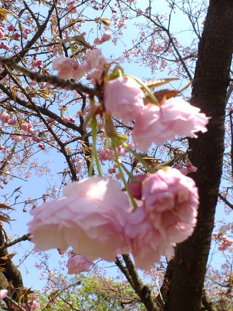 4月11日 日本花の会・結城農場の桜 その1_e0145782_18404437.jpg
