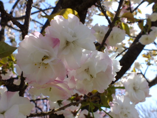 4月11日 日本花の会・結城農場の桜 その1_e0145782_18412426.jpg