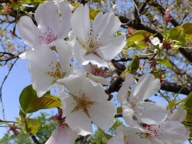 4月11日 日本花の会・結城農場の桜 その1_e0145782_18422251.jpg