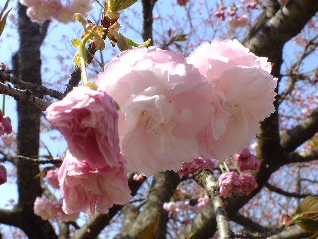 4月11日 日本花の会・結城農場の桜 その1_e0145782_18434834.jpg