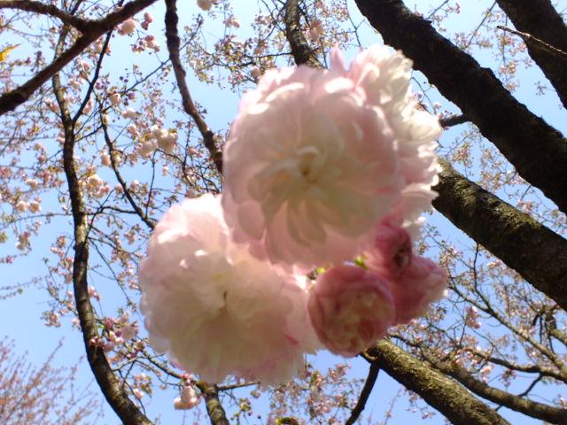 4月11日 日本花の会・結城農場の桜 その1_e0145782_184351.jpg