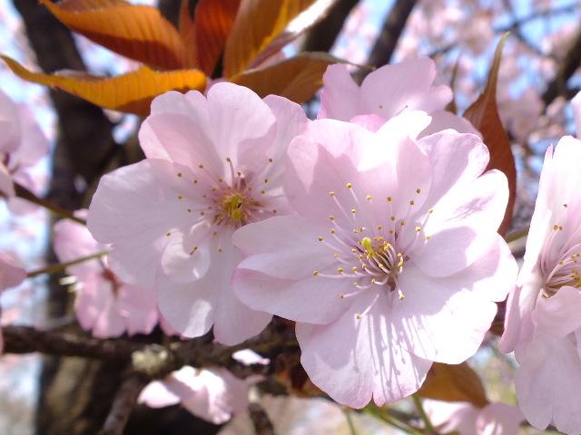 4月11日 日本花の会・結城農場の桜 その1_e0145782_18444524.jpg