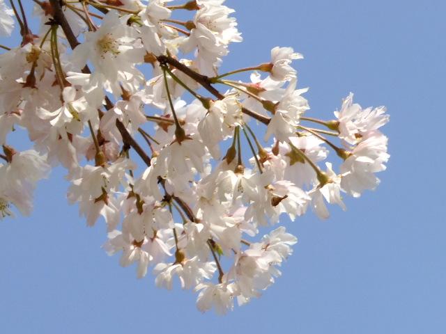 4月11日 日本花の会・結城農場の桜 その1_e0145782_18452371.jpg
