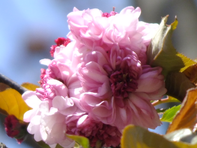 4月11日 日本花の会・結城農場の桜 その1_e0145782_18464297.jpg