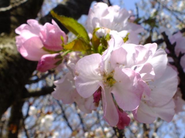 4月11日 日本花の会・結城農場の桜 その1_e0145782_18471638.jpg