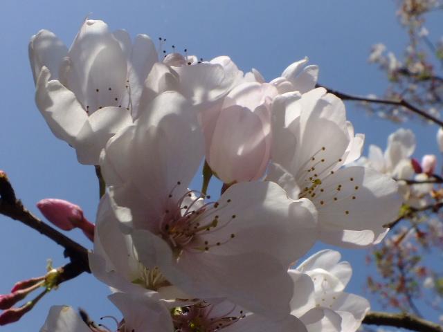4月11日 日本花の会・結城農場の桜 その1_e0145782_18475077.jpg
