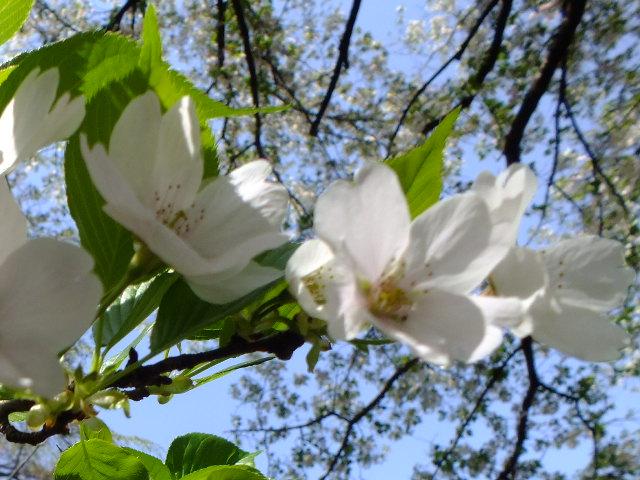 4月11日 日本花の会・結城農場の桜 その1_e0145782_18485620.jpg