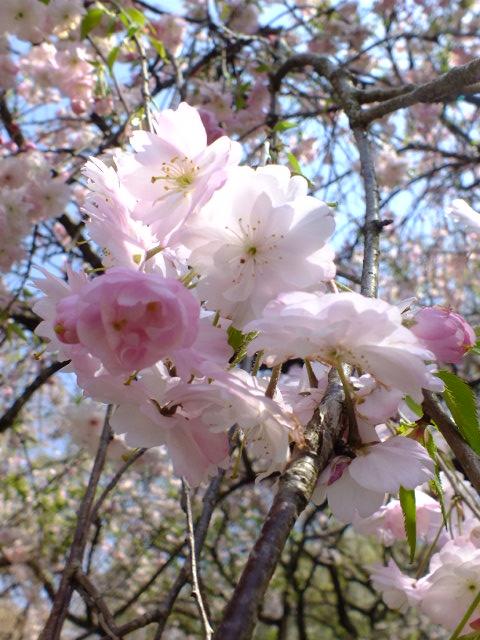 4月11日 日本花の会・結城農場の桜 その1_e0145782_18505962.jpg