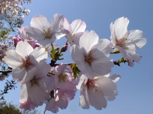 4月11日 日本花の会・結城農場の桜 その1_e0145782_18514097.jpg