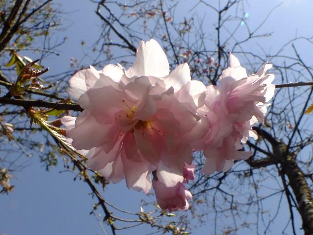 4月11日 日本花の会・結城農場の桜 その1_e0145782_18521660.jpg