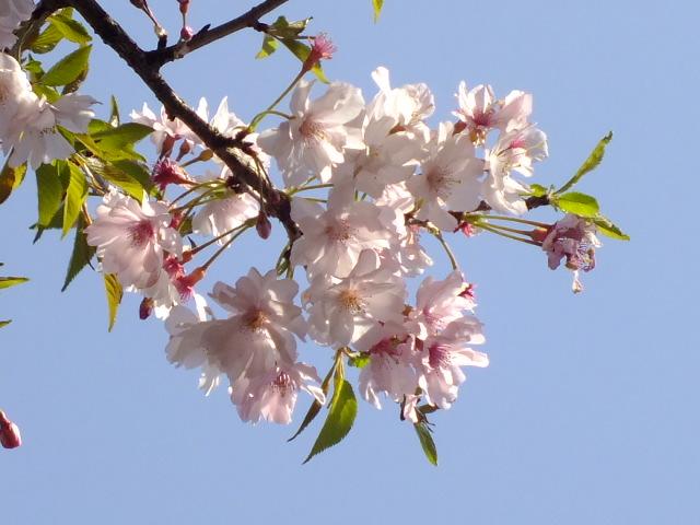 4月11日 日本花の会・結城農場の桜 その1_e0145782_18535493.jpg