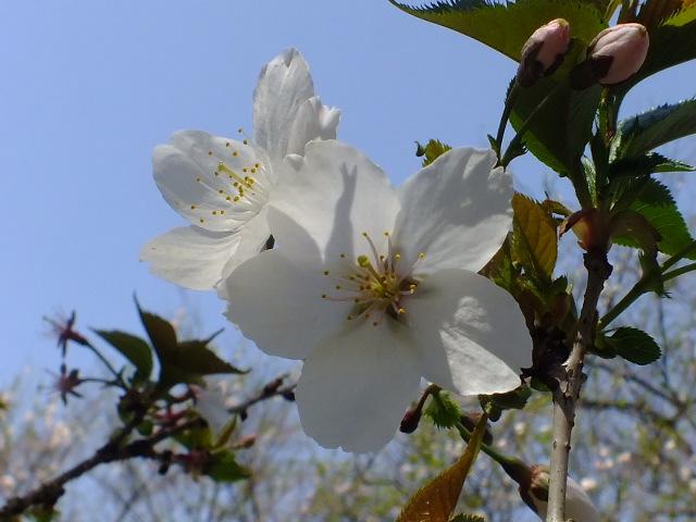 4月11日 日本花の会・結城農場の桜 その1_e0145782_1854595.jpg