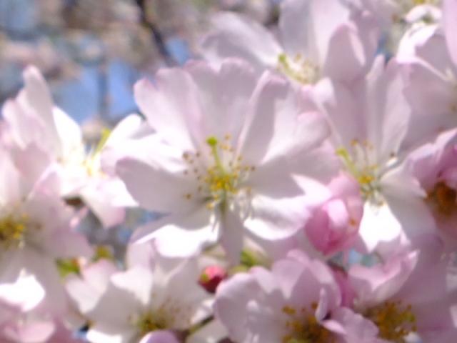 4月11日 日本花の会・結城農場の桜 その1_e0145782_18554715.jpg