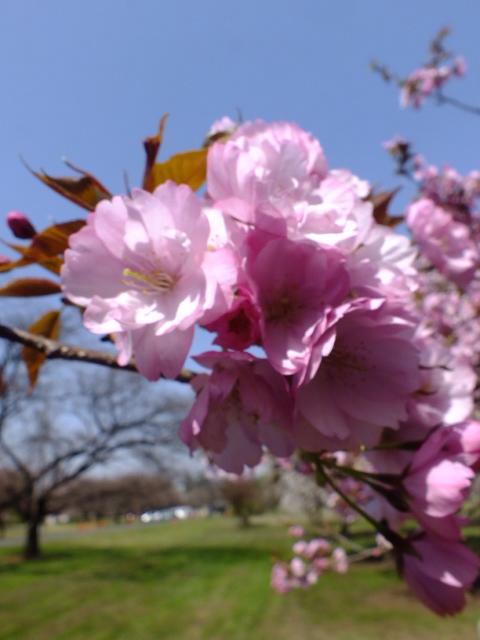 4月11日 日本花の会・結城農場の桜 その1_e0145782_18562745.jpg