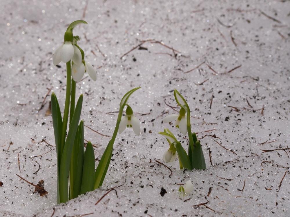 """カンタベリーの春を告げる花""""スノードロップ""""が咲き始めました!_f0276498_18524677.jpg"""